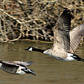 Debbie Oppermann - In Flight Canada Geese