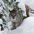 Inspired Nature Photography By Shelley Myke - Canada Lynx Hiding in a...