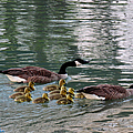Michael Rucker - Canadian Geese Family