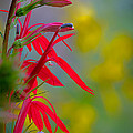 Robert Charity - Cardinal Flower with...