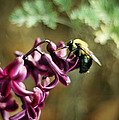 Rebecca Sherman - Carpenter Bee on Purple...