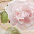 HJBH Photography - Carte Postale Pink Rose