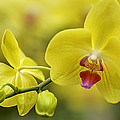 Julie Palencia - Cascade of Yellow Orchids