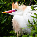 Dawna  Moore Photography - Cattle Egret