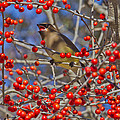 Steven Schwartzman - Cedar Waxwing In the Act...