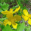 Carol Senske - Celandine Poppy or Wood...