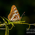 Janis Knight - Checkerspot Butterfly
