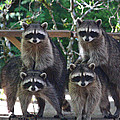 Kym Backland - Cheerleading Coons