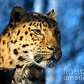 Terri  Waters - Cheetah Acinonyx jubatus