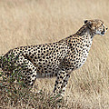 Carole-Anne Fooks - Cheetah Ready for the Off