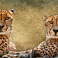 Wes and Dotty Weber - Cheetahs D9899