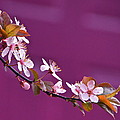 Byron Varvarigos - Cherry Blossoms and Plum...