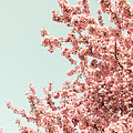 Christina Klausen - Cherry Blossoms in Spring
