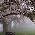 James Yang - Cherry Trees at Burnaby...