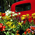 Tina Wentworth - Chevy and Tulips