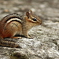 Inspired Nature Photography By Shelley Myke - Chipmunk Basking in the...