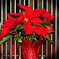 Cynthia Guinn - Christmas Red Poinsettia