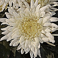 Johnson Moya - Chrysanthemum Flowers 2