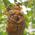 Rory Cubel - Cicada Emerging On Small...