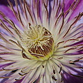 Kay Sparks - Clematis Close Up
