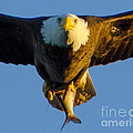 Jeff at JSJ Photography - Close Up Bald Eagle with...