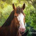 Peggy  Franz - Clydesdale Beauty