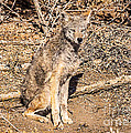 Janice Rae Pariza - Colorado Coyote