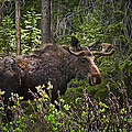 Priscilla Burgers - Colorado Moose