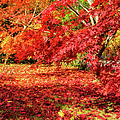 Marianne Campolongo - Colorful fall leaves on...