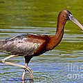 Barbara Bowen - Colorful Glossy Ibis