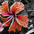 Kaye Menner - Colorful Hibiscus on...