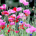 Peggy Collins - Colorful Poppies