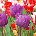 Baslee Troutman Floral Art Prints - Colorful Spring Tulips...