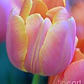 Kathleen Struckle - Colorful Tulip