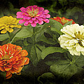 James C Thomas - Colors Of Zinnias