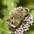 Kathy Clark - Common  Buckeye...