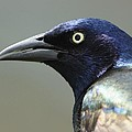 Gerard Monteux - Common Grackle Portrait
