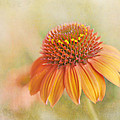 David and Carol Kelly - Coneflower In The Sun