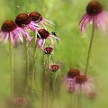Rosanne Jordan - Coneflowers Dream