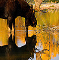 Aaron Whittemore - Contemplative Moose