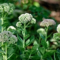 Suzanne Powers - Cool Green Sedum Flowers