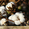 Beverly Guilliams - Cotton Bolls Ready for...