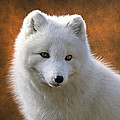 Wes and Dotty Weber - Coy Arctic Fox D5893