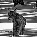 Troy Montemayor - Coyote in Snow Grand...