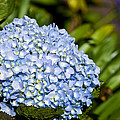Christi Kraft - Cradled Hydrangea
