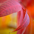 Deb Halloran - Crimson Leaves
