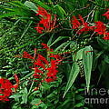 Carol Senske - Crocosmia in Red