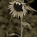 Christie Morgans - Crowned Sunflower