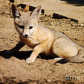 Meghan at  FireBonnet Designs - Curious Kit Fox