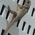 Jonathan Laverick - Curly Tailed Lizard